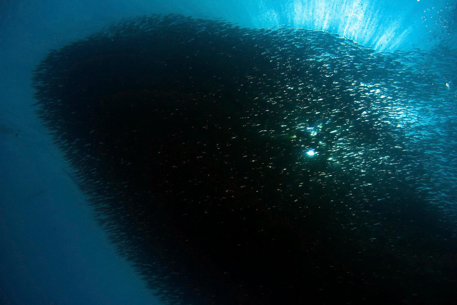 Sardinen Schwarm 1